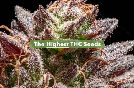 High quality feminized cannabis seeds from Amsterdam